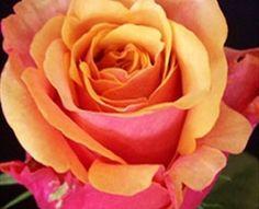 Cherry Brandy - Standard Rose - Roses - Flowers via Sierra Flower Finder