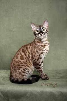 Charcoal Mink Bengal..My special baby girl