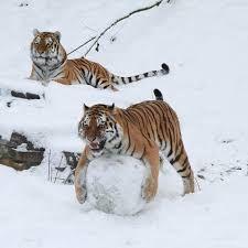 Bildergebnis für sibirische tiger