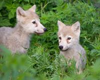 State Agencies Killing Wolves - Stop the Slaughter