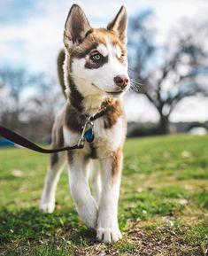 obedience-training-siberian-husky-puppies.jpg (600×737)