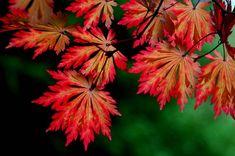 Acer japonicum aconitifolium Lichtrode japanse esdoorn. Kan 175 tot 200 cm hoog worden