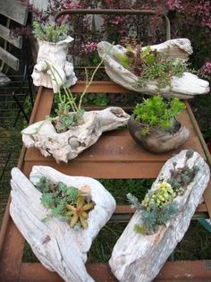 Various driftwood succulent planters from Washington coast driftwood with established hardy succulent and sedum plants.....use as drift wood centerpiece, on windowsill, for woodland/beach garden... #terrarios