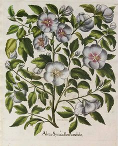 Hibiscus syriacus L. Rose of Sharon by Basilius Bessler, (1640). Illustration contributed by Teylers Museum, Haarlem, The Netherlands. Antique botanical illustration.