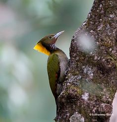 """Greater Yellownape woodpecker (Picus flavinucha kumaonensis), female - photo by Subhadeep Ghosh;  in India;  Large, olive green woodpecker with prominent yellow-crested nape and throat. Dark olive green with grey underparts. Crown brownish and flight feathers chestnut barred with black. Bill often looks whitish."""" - info from Wikipedia"""