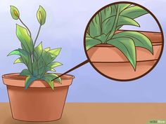 How to Care for Peace Lilies. Peace lilies are one of the most popular varieties of houseplants. By properly caring for your peace lilies, you'll have beautiful. Garden Bug Spray, Garden Bugs, Indoor Garden, Indoor Plants, Peace Lillies, Lily Care, Peace Lily Plant, Plant Table, Raising Chickens