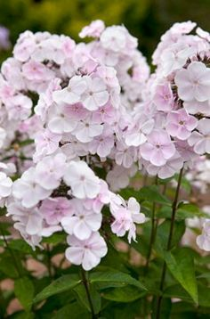 Find help & information on Phlox paniculata 'Monica Lynden-bell' perennial phlox 'Monica Lynden-Bell' from the RHS Phlox Flowers, Fall Flowers, Wedding Flowers, Flag Pole Landscaping, Small Backyard Landscaping, Landscaping Ideas, Ornamental Cabbage, Herbaceous Border, Language Of Flowers