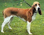 berner laufhund photo | kenmerken varianten luzerner laufhund berner laufhund jura laufhund ...