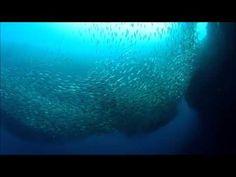 Video: Científicos califican de fenómeno natural varamiento de sardinas en sur chileno - YouTube