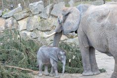 Elephant Mom and her Baby Iqhwa, Zoo Vienna