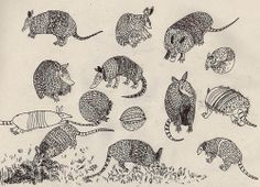 Emma Traynor Illustration - armadillos are also related to the anteater