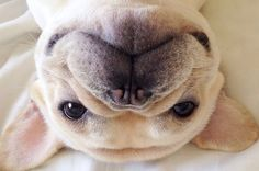 Community Post: Frenchiebutt Is The Cutest French Bulldog You Should Be Following On Instagram
