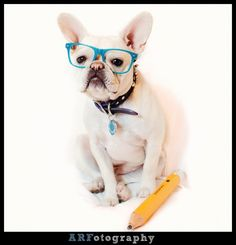 """""""I has to go to Skool?"""", """"What's a Skool"""". French Bulldog ready for his First Day at School."""
