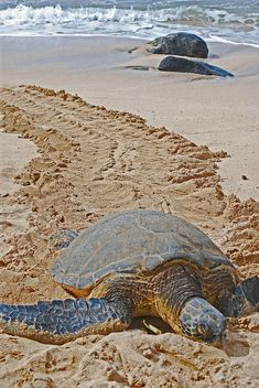 Sleepy Time    This was taken at Turtle Beach on the North Shore of Oahu.