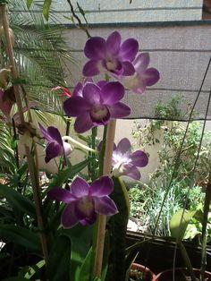 Minha orquídea!!!!!! 2013