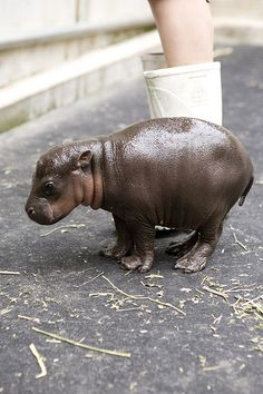 Baby Pygmy Hippo.  Native to Nigeria.  Less than 3000 in the wild. there's about to be one less in the wild because I'm about to go get one for myself! too stinkin' cute!