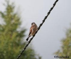 Tuulihaukka Bald Eagle, Bird, Animals, Animales, Animaux, Birds, Animal, Animais