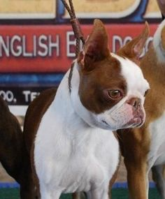 BEAUTIFUL red Boston Terrier in a show!