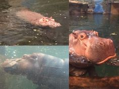 Water Hippos