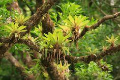 Bromelia in Monteverde Cloud Forest Preserve, Costa Rica..