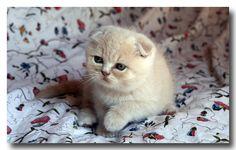 Chaton Scottish Fold crème   Flickr - Photo Sharing!