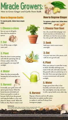 How to Regrow Garlic and Ginger (Infographic)