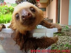 Animal Planet documentary on sloths @ Costa Rica. Baby sloths being cute @ sloth orphanage in the country's Caribbean coast