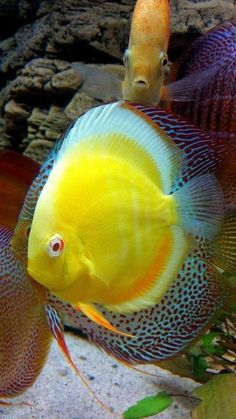 Yellow Submarine - - # yellow - Sealife - - Discus Aquarium, Discus Fish, Aquariums, Betta Fish, Tropical Freshwater Fish, Freshwater Aquarium Fish, Tropical Fish, Oscar Fish, Yellow Submarine