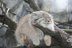 gato-pallas-cat