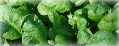 Growing Spinach, garden.usu.edu, Utah State University Extension