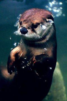 Plongée sous-marine. Les loutres se sentent aussi à l'aise sur terre que dans l'eau.
