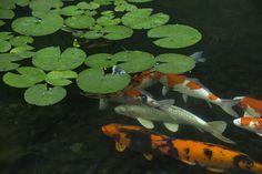 Koi & Lilypads | by PDX Japanese Garden