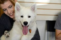 Lucia the Samoyed — in New York, New York | via Facebook puppy training