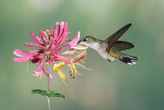 Hummingbird and Honeysuckle by Mike Bons on 500px