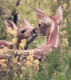 two beautiful deer kissing on the meadow