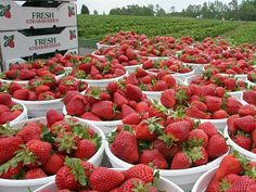 The @NC_Strawberry Association has a YouTube Video Contest this year, with prizes in five categories.     http://www.ncstrawberry.com/docs/NCStrawberriesYouTubeVideoContest.htm