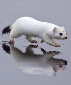The stoat, mustela erminea, also known as the short-tailed weasel, is a mammal of the genus Mustela of the family Mustelidae native to Eurasia and North America, distinguished from the least weasel by its larger size and longer tail with a prominent black tip. Wikipedia. Profielfoto van WillemdeWolf
