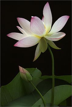Lotus ,flower that grows out of mud