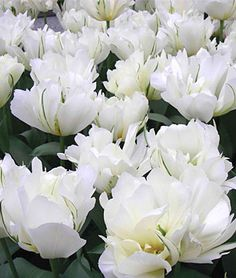 Tulip, Exotic Emperor  ~~ White in the garden or table arrangement makes a statement ~~