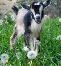 Nigerian dwarf goat kid!  Good milkers, tiny, and friendly = good for a homestead.  I really want some nigorans ( this crossed w angora goat means good wool too)