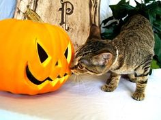 *sniff sniff* Smells like HALLOWEEN! This Florida kitty would like it to smell like HOME... please click for info!