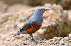 Monticola solitarius -ground-8 - Синий каменный дрозд — Википедия