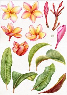 by Mary on Creative Market Watercolor tropical Plumeria flower. Tatouage Plumeria, Plumeria Tattoo, Tropical Leaves, Tropical Flowers, Tropical Garden, Art Floral, Flower Graphic, Botanical Art, Botanical Illustration