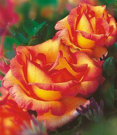 Duftrosen - BALDUR-Garten GmbH | Flowers | Pinterest | Garten and ...