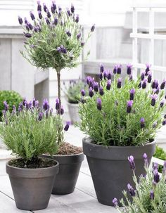 """French Lavender. In Swedish called """"Butterfly Lavender"""". Love the name and the flower."""