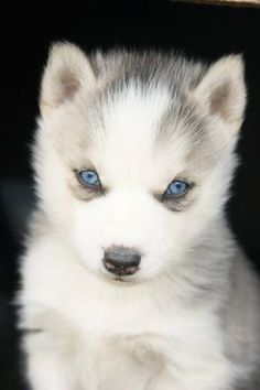 Siberian husky puppy, they grow to be such beautiful dogs (not that they're not adorable as puppies) they are extremely loyal and will put their lives down for you.