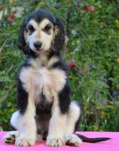 Afghan Hound Puppy, Hound Dog, Hound Breeds, Dog Breeds, Most Beautiful Dogs, Beautiful Babies, Tibetan Terrier, The Perfect Dog, Lurcher