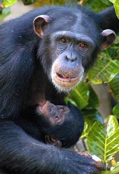 Chimpanzee - Gambia [