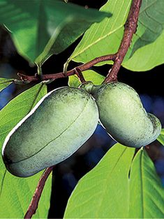 Paw Paw Tree ...I used to eat paw paws all the time when I was little....can't find them around here anymore