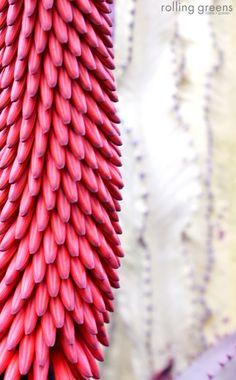 Aloe Ferox | Rolling Greens